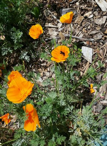 California Poppies Bees Poppies  Buzzing Nature_collection Wild Flowers