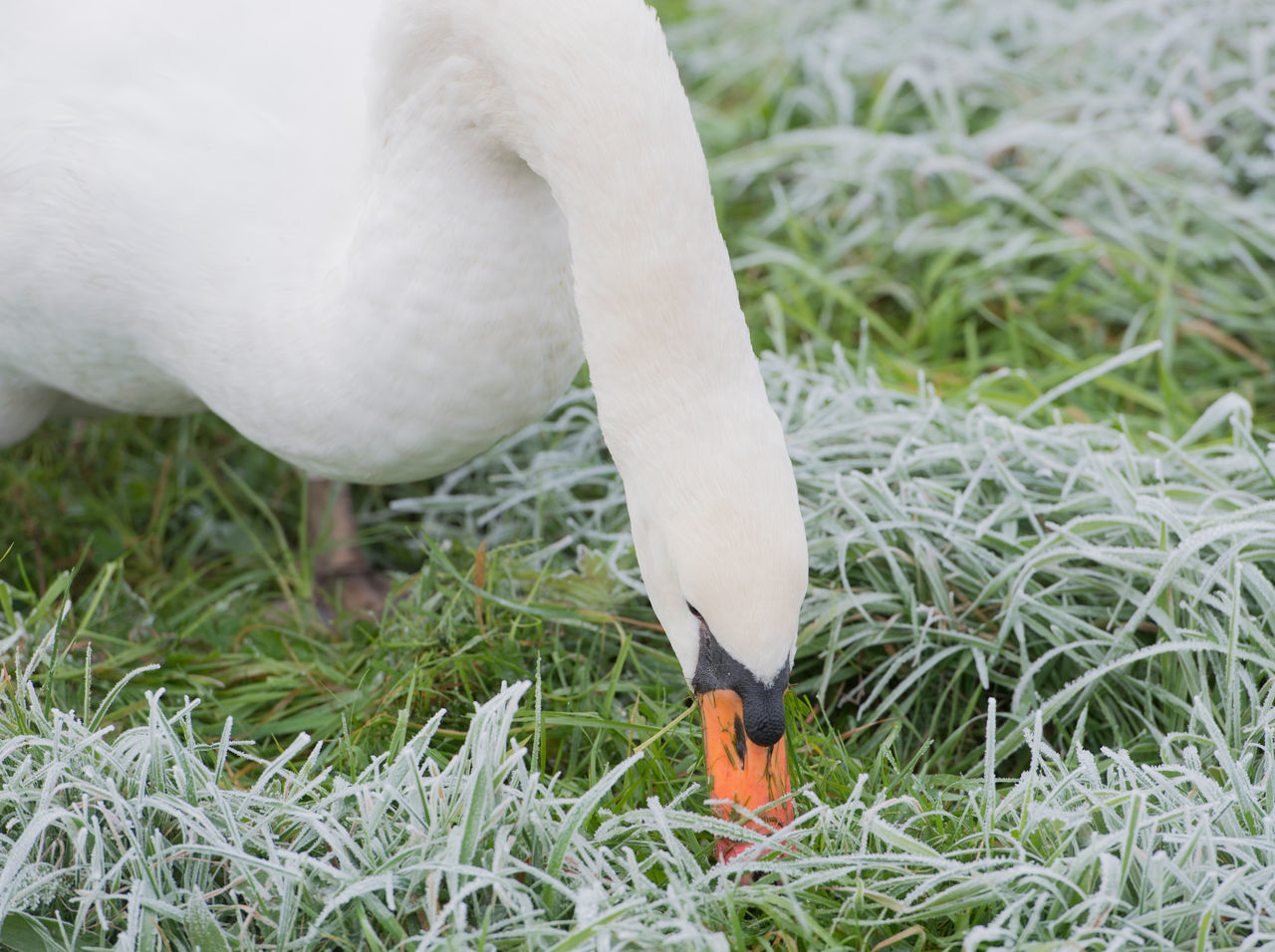Swan eating grass on the meadow in winter Animal Themes Animals In The Wild Bird Cygnini Goose Grass Graze Hump Swan Meadow Nature No People Swan Winter