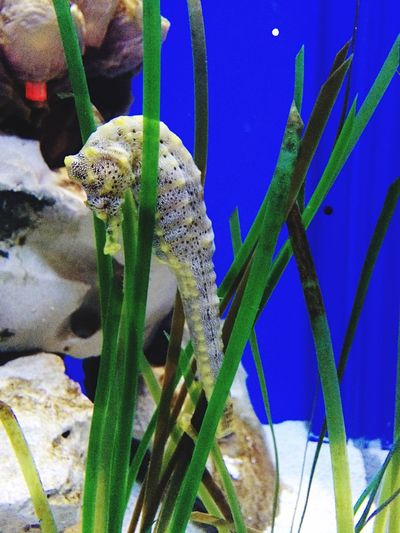 Seahorse hiding Seahorse Seahorse In Aquarium Aquarium Life Neonblue Seacreature Sealife Animal Nature Tucsondesertmuseum Tucson Arizona  United States