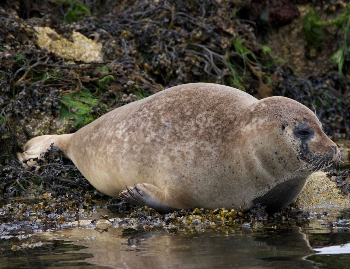 Seals basking at the Kyle of Lochalsh, Scotland Animals Basking Seals Close-up Kyle Of Lochalsh Seal Pup Seals Seals Basking Seals Chilling Seals On Beach Seals On The Sea Shore Sealsanctuary Skye Wildlife Wildlife & Nature Wildlife Photography Wildlife Photos Wildlifephotographer