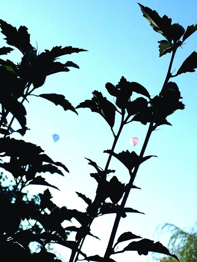 TakeoverContrast Silhouette Low Angle View Clear Sky Leaf Growth Branch Nature Close-up Tranquility Beauty In Nature Blue Scenics Day Outline Outdoors Tranquil Scene High Section Sky Blue Color Hotairballoon
