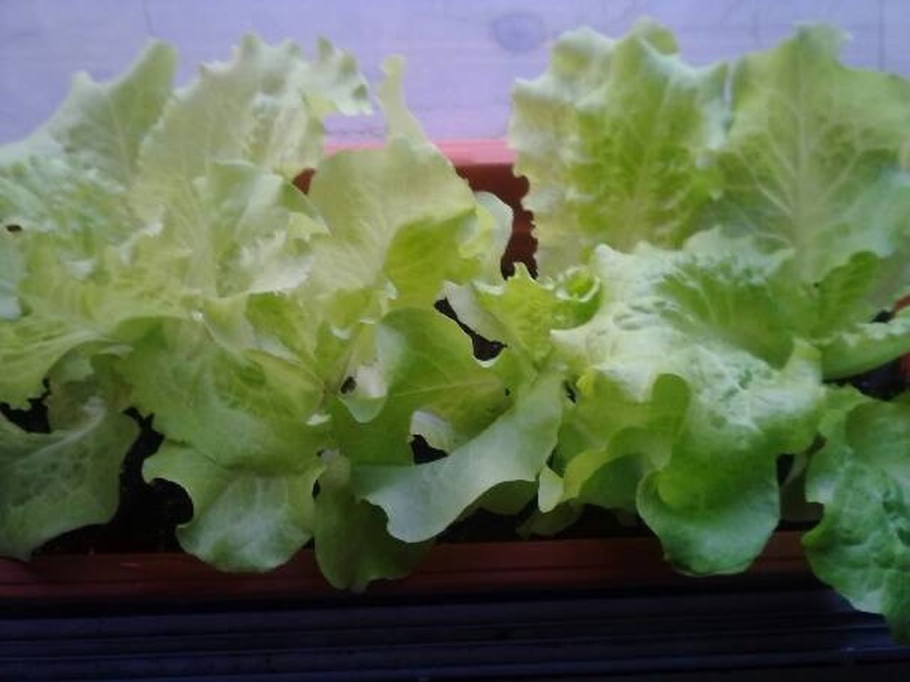 Windowsill gardening is easy, quick and fun for all. Eatng Right Gardening For Kids Healthy Food Heathyliving Indoor Gardening Lettuce Photography Potted Plants Windowsill Gardening
