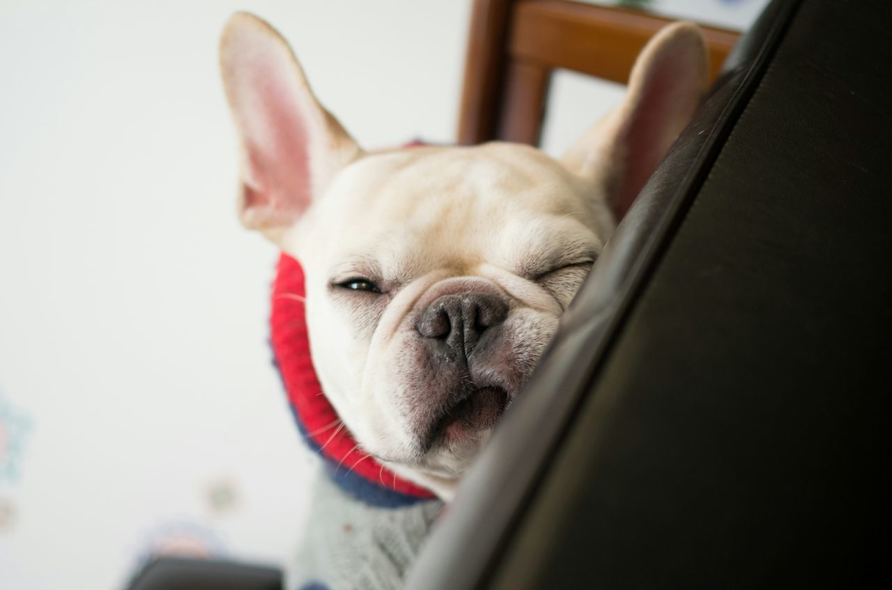 Beautiful stock photos of french bulldog, Animal Themes, Close-Up, Day, Dog