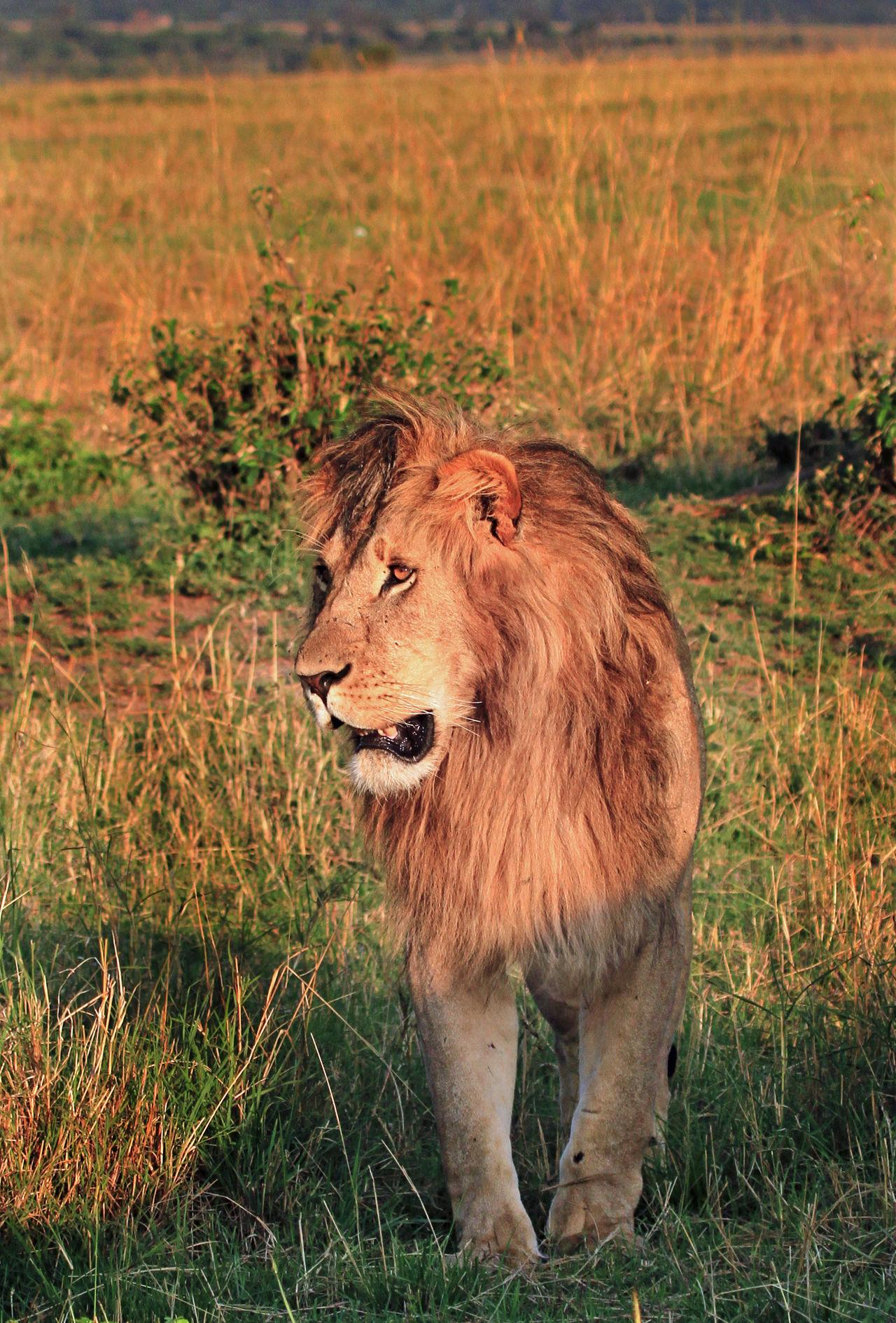 Animal Themes Animal Wildlife Animals In The Wild Beauty In Nature Big Cat Big Five Golden Mane Grass Kenya Lion Mammal Masai Mara National Park Nature No People One Animal Outdoors Wildife Wildlife Photography