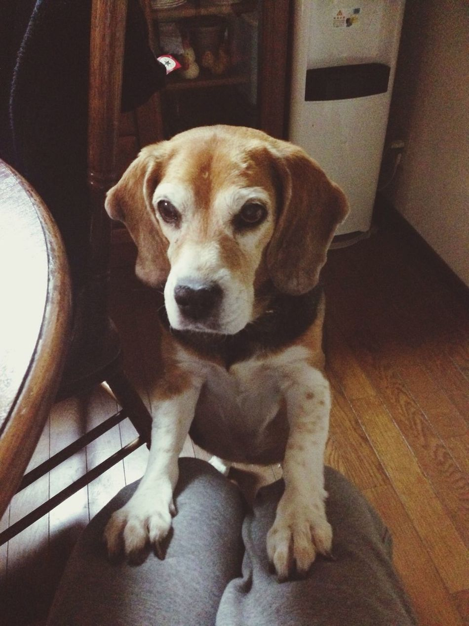 Beautiful stock photos of beagle, Animal Head, Animal Themes, Balance, Close-Up