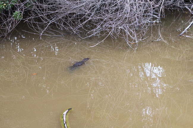 Animals In The Wild Brown Water Crocodile Day Mangroves Nature Water Wildlife