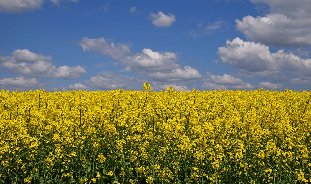 yellow, agriculture, oilseed rape, crop, farm, nature, beauty in nature, field, tranquil scene, rural scene, tranquility, sky, flower, scenics, cultivated land, growth, mustard plant, cloud - sky, landscape, no people, day, cultivated, plant, springtime, outdoors, fragility, freshness