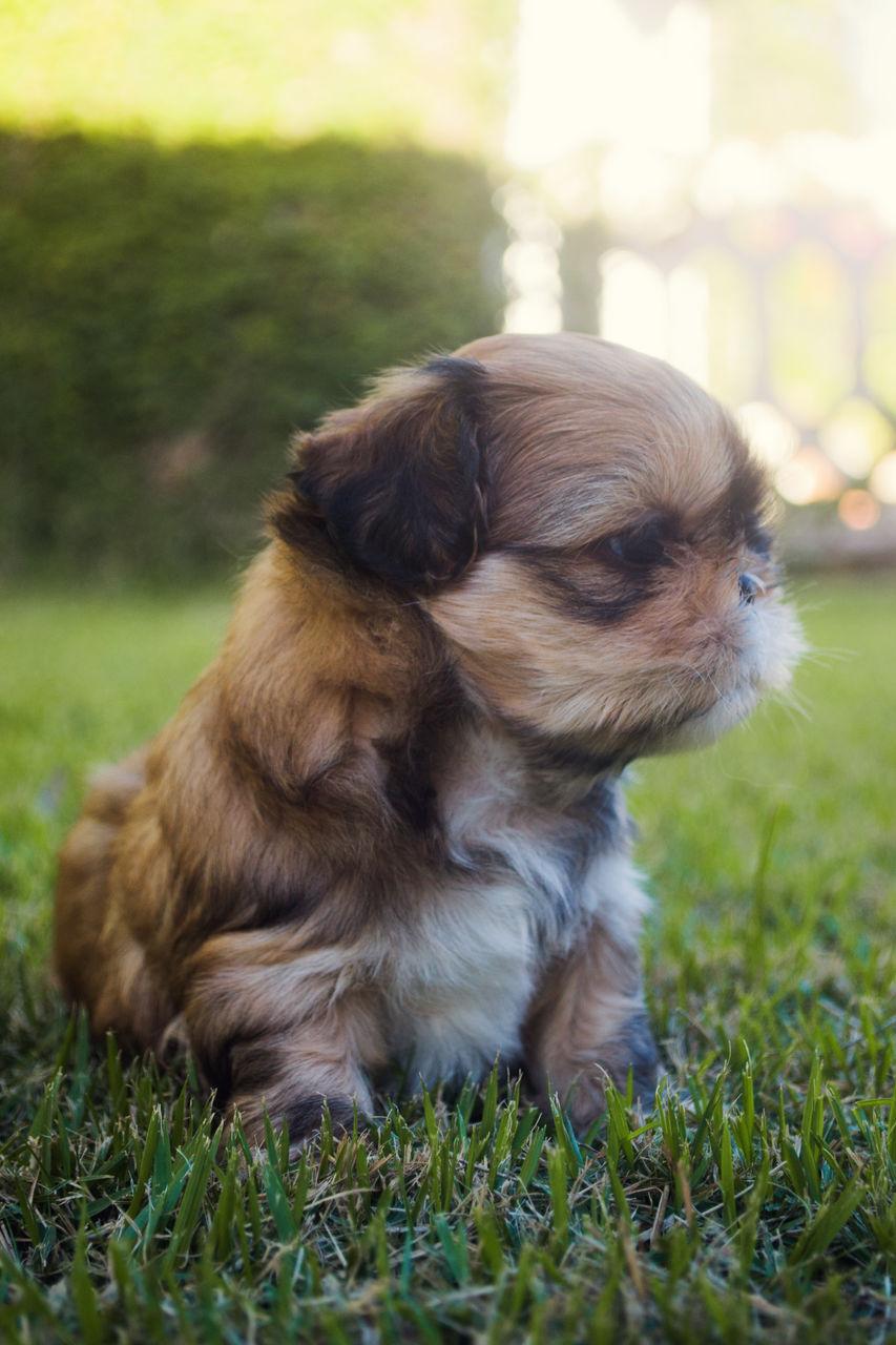 Shih Tzu Relaxing On Grassy Field