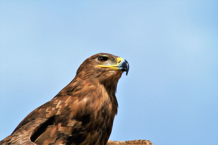 nice picture of a buzzard Bird Bird Of Prey Buzzard  Clear Sky No People One Animal Wildlife