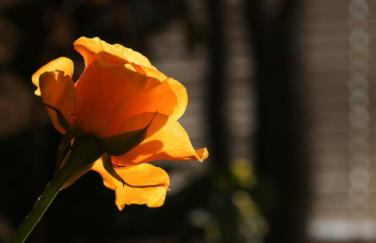 Beauty In Nature Close-up Day Flower Flower Head Focus On Foreground Fragility Freshness Growth Macro Nature No People Orange Color Plant Rose♥ Rosé Softness Sunlight Sunlight And Shadow Sunlight ☀ Sunlight, Shades And Shadows Yellow Rose