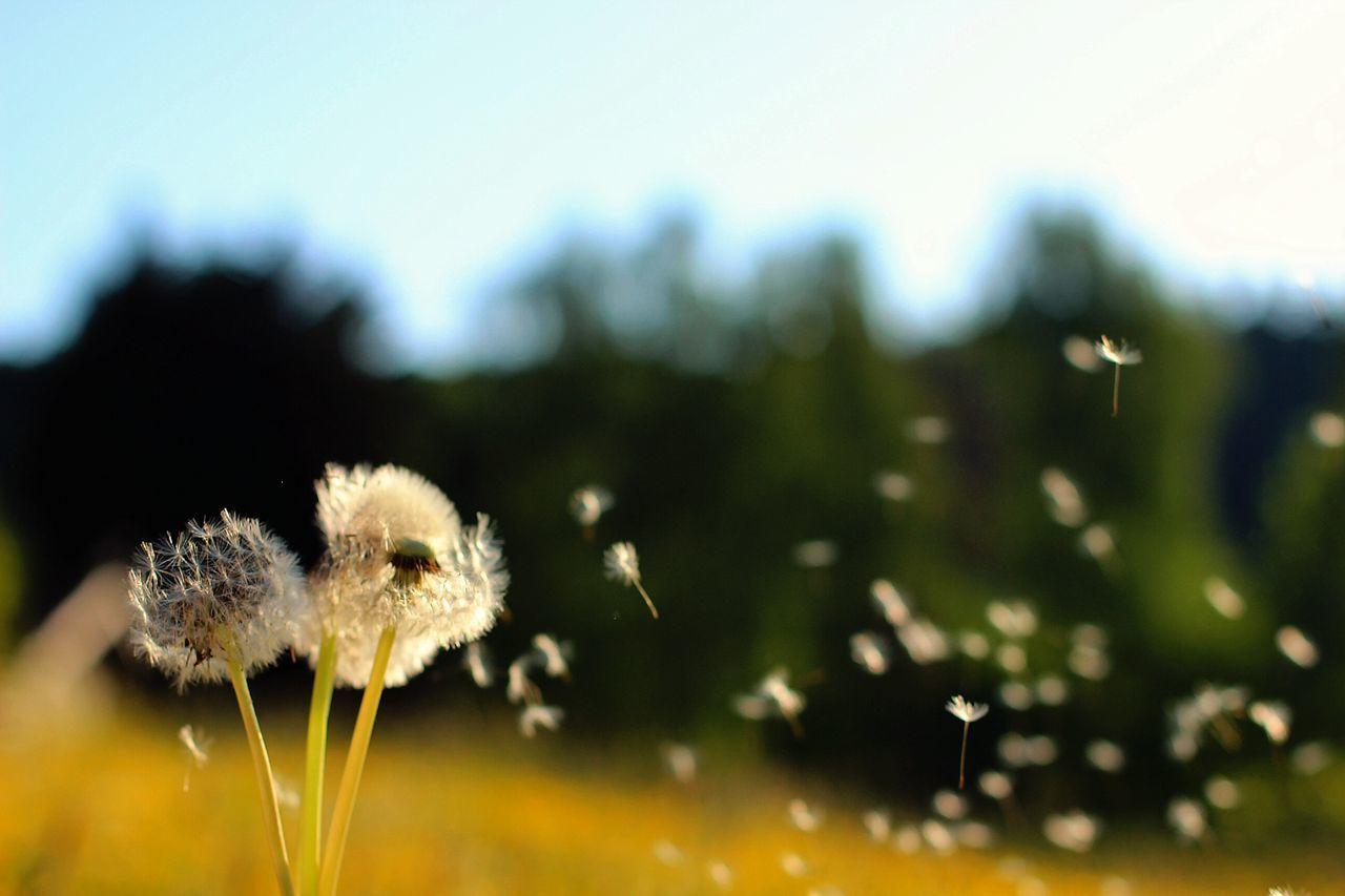 Close-up selective focus of dandelion flowers