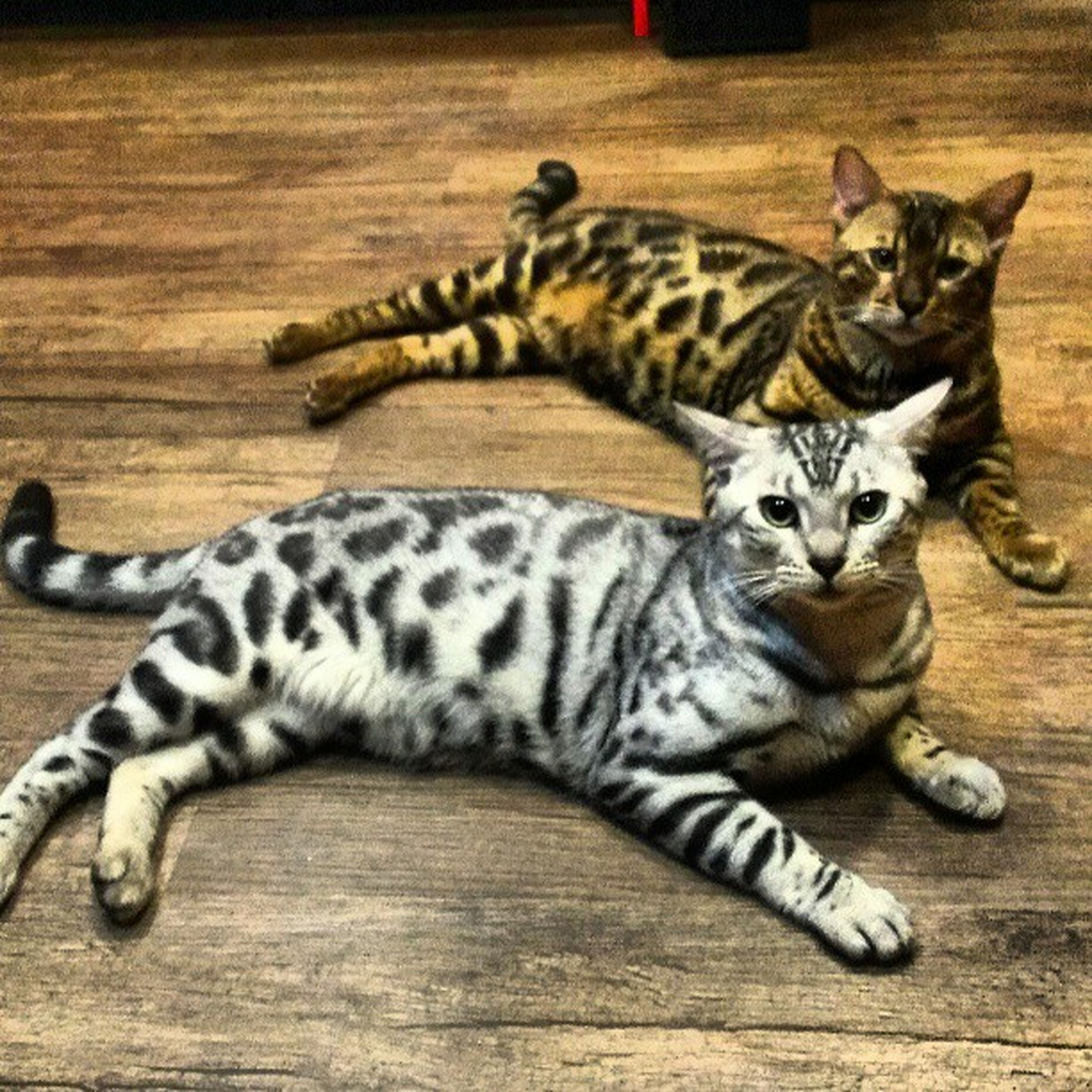 animal themes, one animal, domestic cat, feline, mammal, cat, pets, relaxation, indoors, domestic animals, lying down, whisker, resting, portrait, two animals, full length, togetherness, high angle view, looking at camera, no people