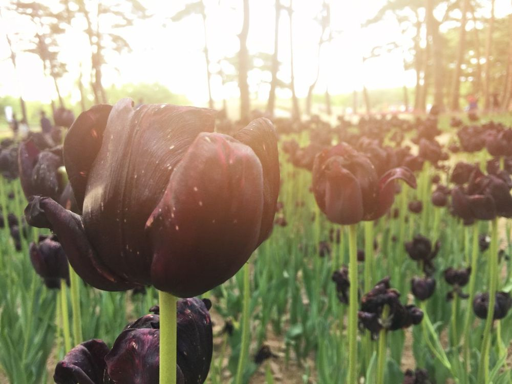 black tulip field Beauty In Nature Black Close-up Flower Flower Head Fragility Freshness Growth Nature No People Outdoors Plant Tulips