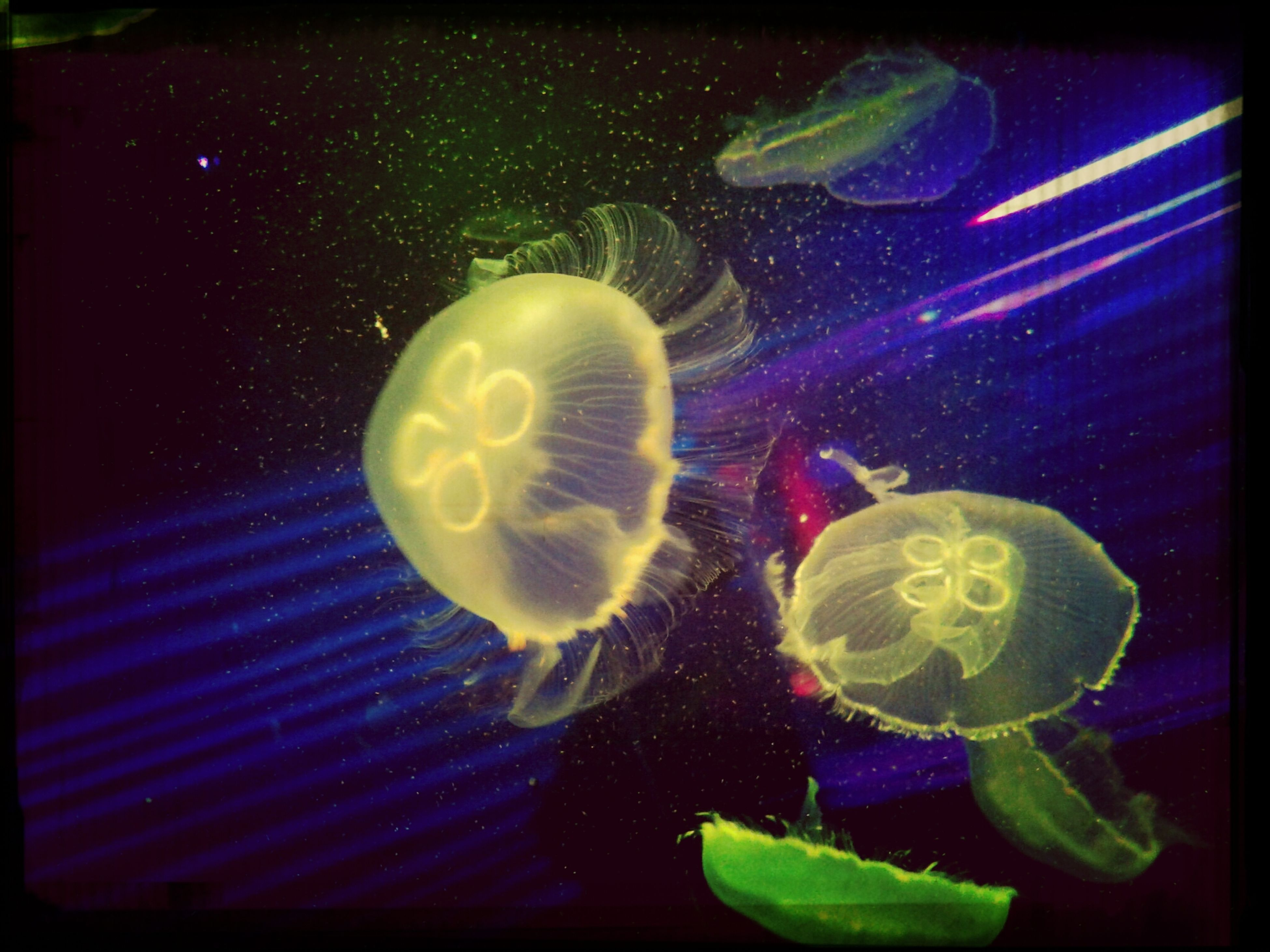 water, underwater, animal themes, swimming, close-up, sea life, wildlife, fish, beauty in nature, animals in the wild, indoors, nature, fragility, flower, aquarium, one animal, freshness, undersea, jellyfish, no people