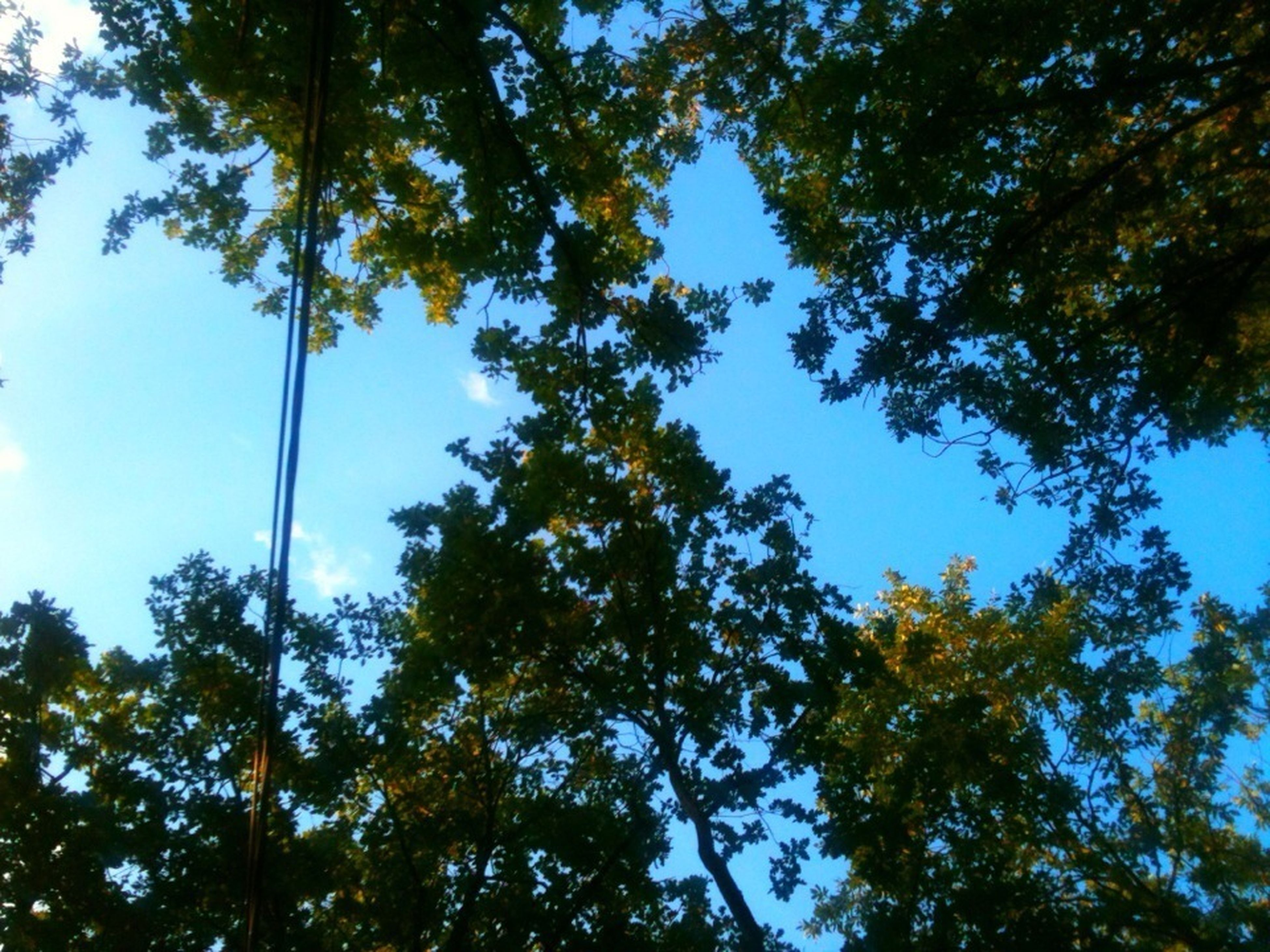 tree, low angle view, growth, branch, nature, clear sky, tranquility, beauty in nature, sky, blue, scenics, tree trunk, day, leaf, outdoors, green color, no people, sunlight, tranquil scene, treetop