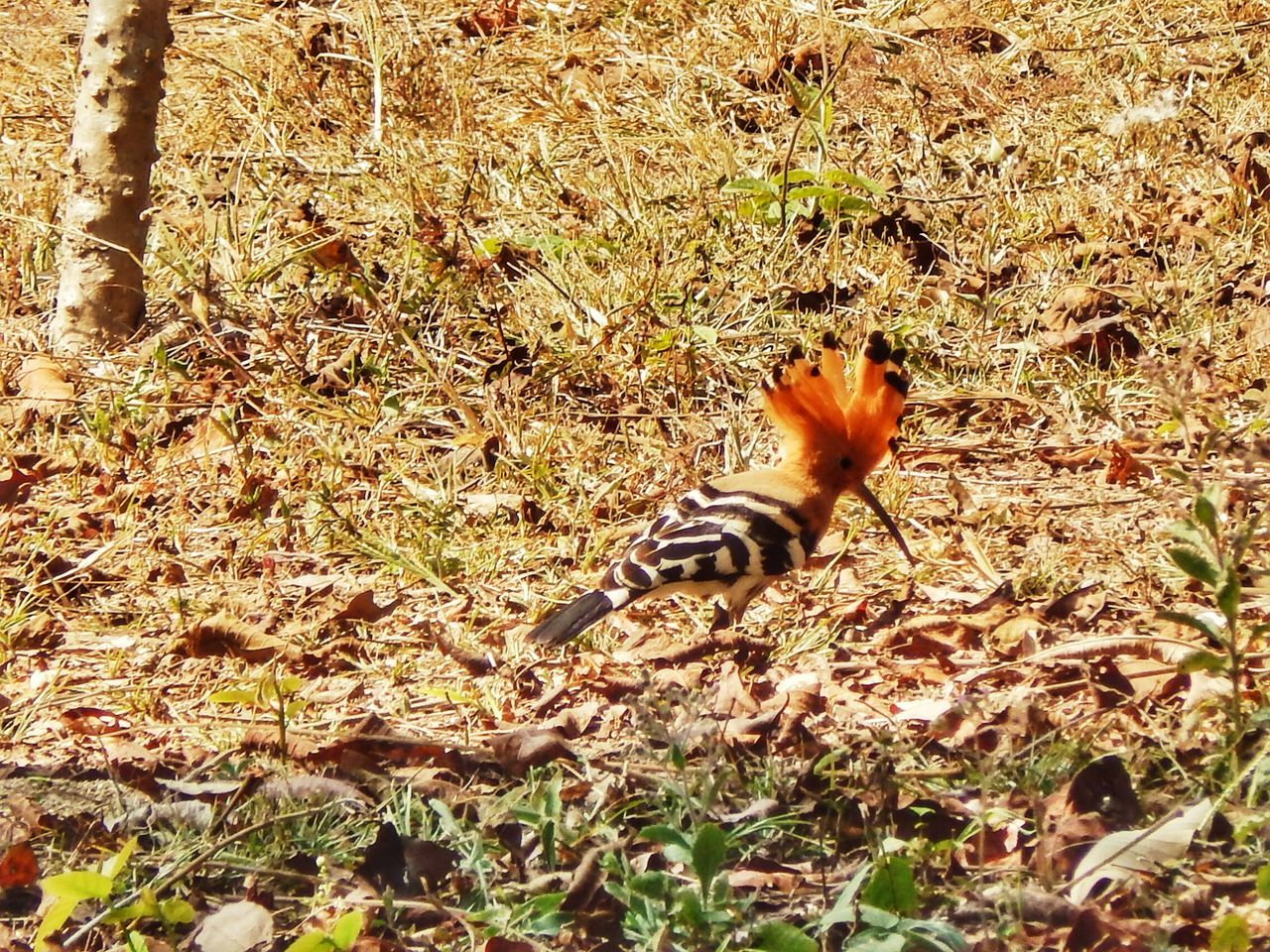Regular visitor this time of year. Hoopoe EyeEm Birds Crest Digging EyeEm Nature Lover EyeEm Thailand