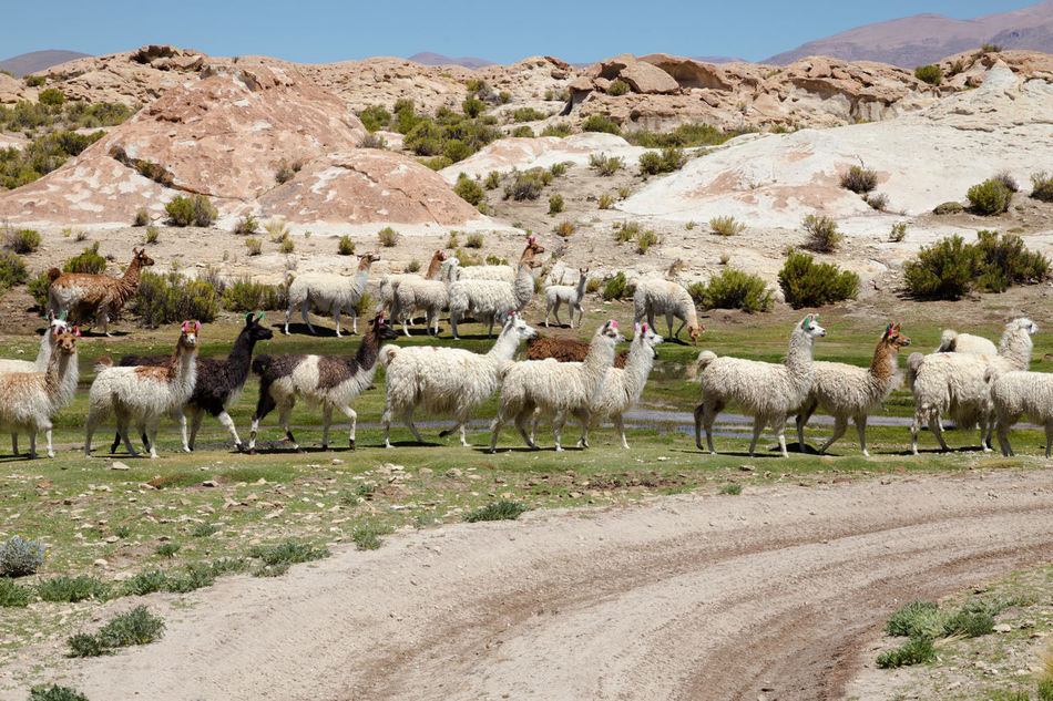 Agriculture Altiplano Andes Animal Animal Themes Animals In The Wild Beauty In Nature Bolivia Day Domestic Animals Flock Lama Large Group Of Animals Latin America Livestock Llama Mammal Nature Nature No People Outdoors Scenics South America Tranquility Wanderlust