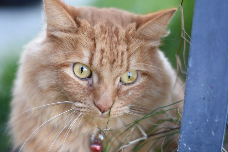 Pets Close-up Domestic Cat Feline Orange Cat Portrait Domestic Animals Day One Animal Mammal Animal Themes Kitty Catslife Kitty!  Cat Kitty Cat Cats Animal Whisker Focus On Foreground Catlover Animal Wildlife Outdoors Grass Soft Kitty
