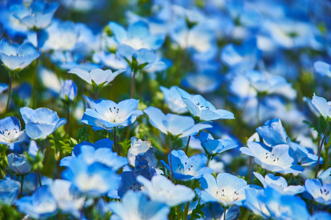 Beauty In Nature Blooming Blue Close-up Flower Flower Head Flowers Nature Nature Photography Nature_collection Nemophila No People Plant Season