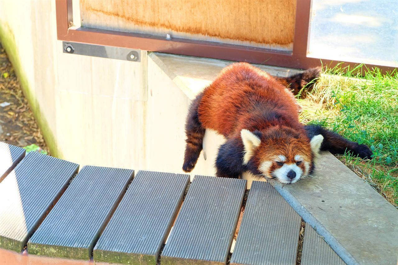 Animal Themes Lazy Lazy Animal Lazy Day Lazy Racoon One Animal Racoon Sleepy Day Zoo