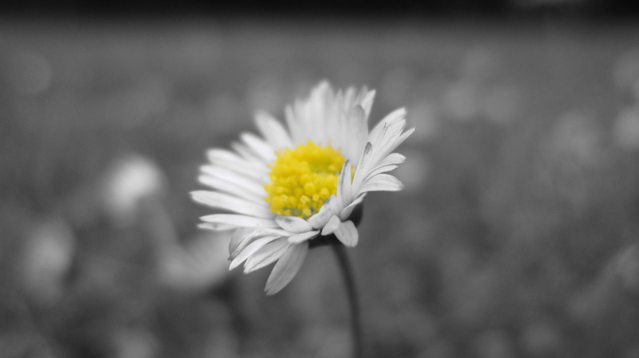 Small Flower Little Flower Flower Beauty In Nature Flower Head Fragility Yellow Nature Freshness Petal Springtime Plant Daisy Softness Pollen Close-up No People Outdoors EyeEmNewHere Blackandwhite Black & White Black And White Photography Yellowcenter Yellow Centered Flowers Copy Space