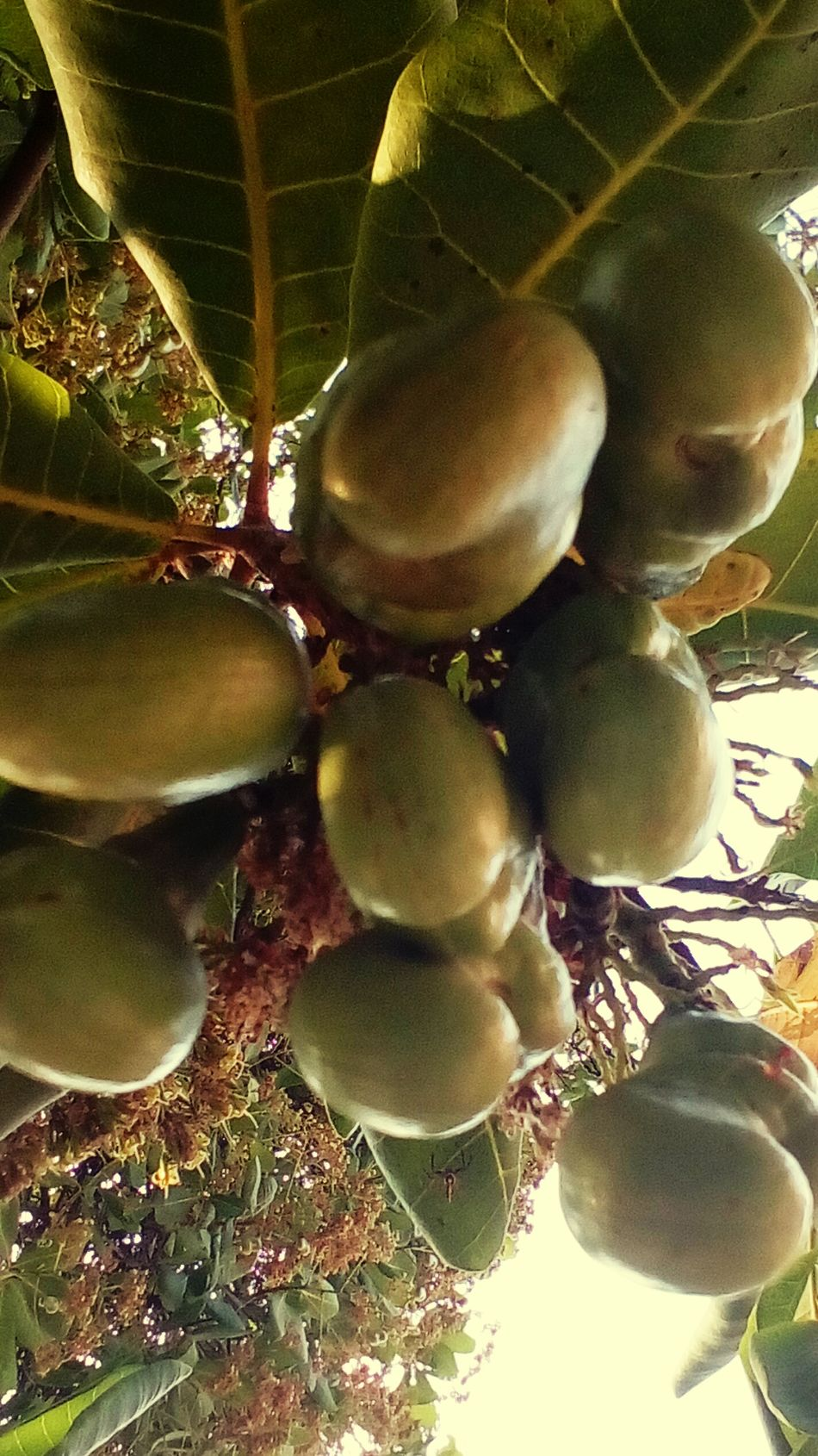 Cashew Cashew Fruit