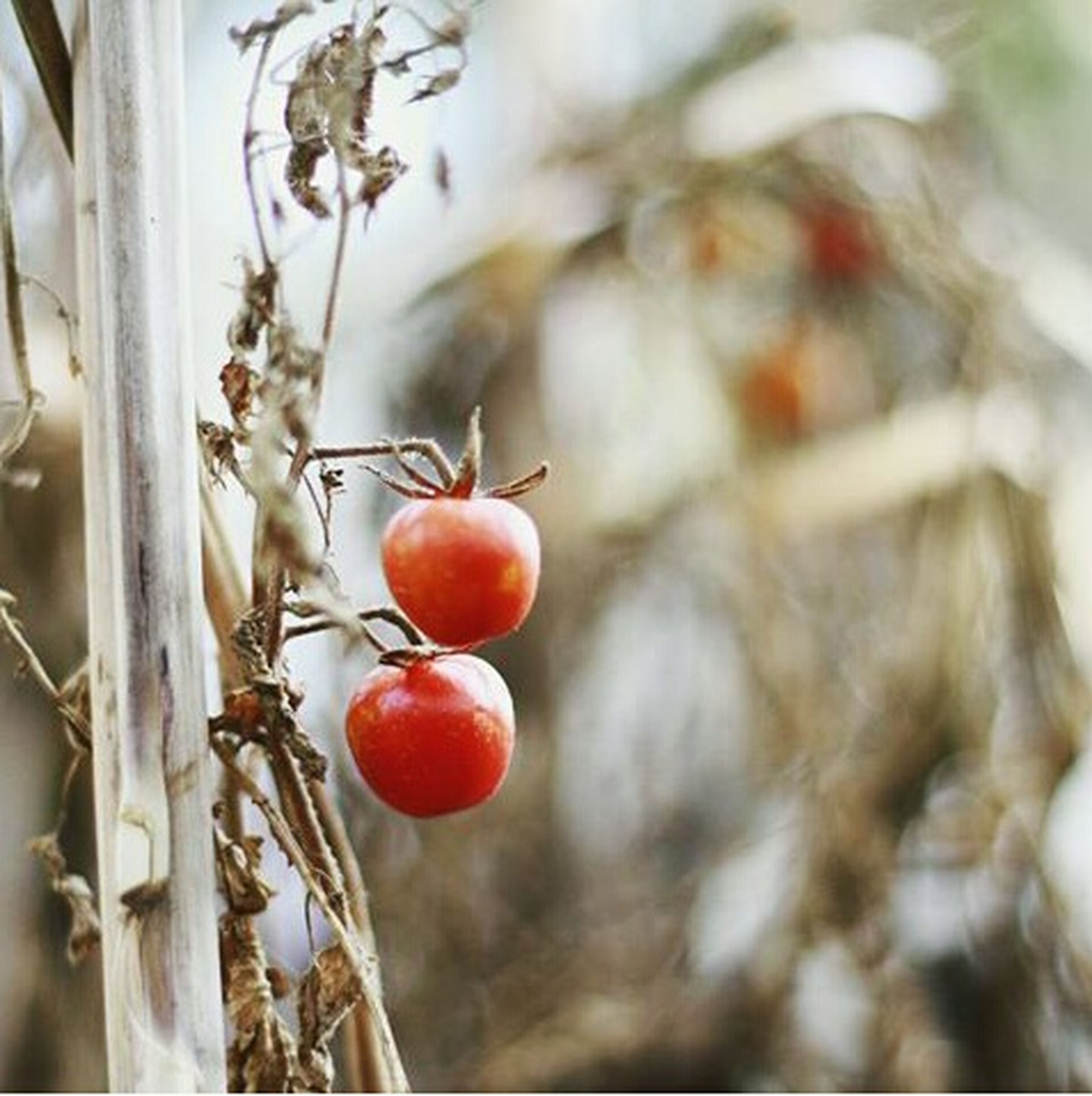 food and drink, fruit, food, focus on foreground, healthy eating, close-up, hanging, freshness, red, branch, selective focus, stem, twig, ripe, no people, day, cherry, tree, plant, indoors