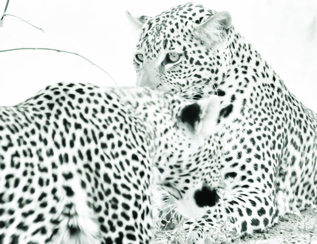 Spotted Leopard Animal Themes Feline Animal Markings White Background The Great Outdoors - 2016 EyeEm Awards Minimal Tranquility Nature_collection Beauty In Nature Safari Africa Eye4photography  Blackandwhite Photography Black&white Darkness And Light Black And White EyeEm Best Shots - Black + White Serengeti Serengeti National Park EyeEm Best Edits Animals In The Wild Animal Wildlife Spotted