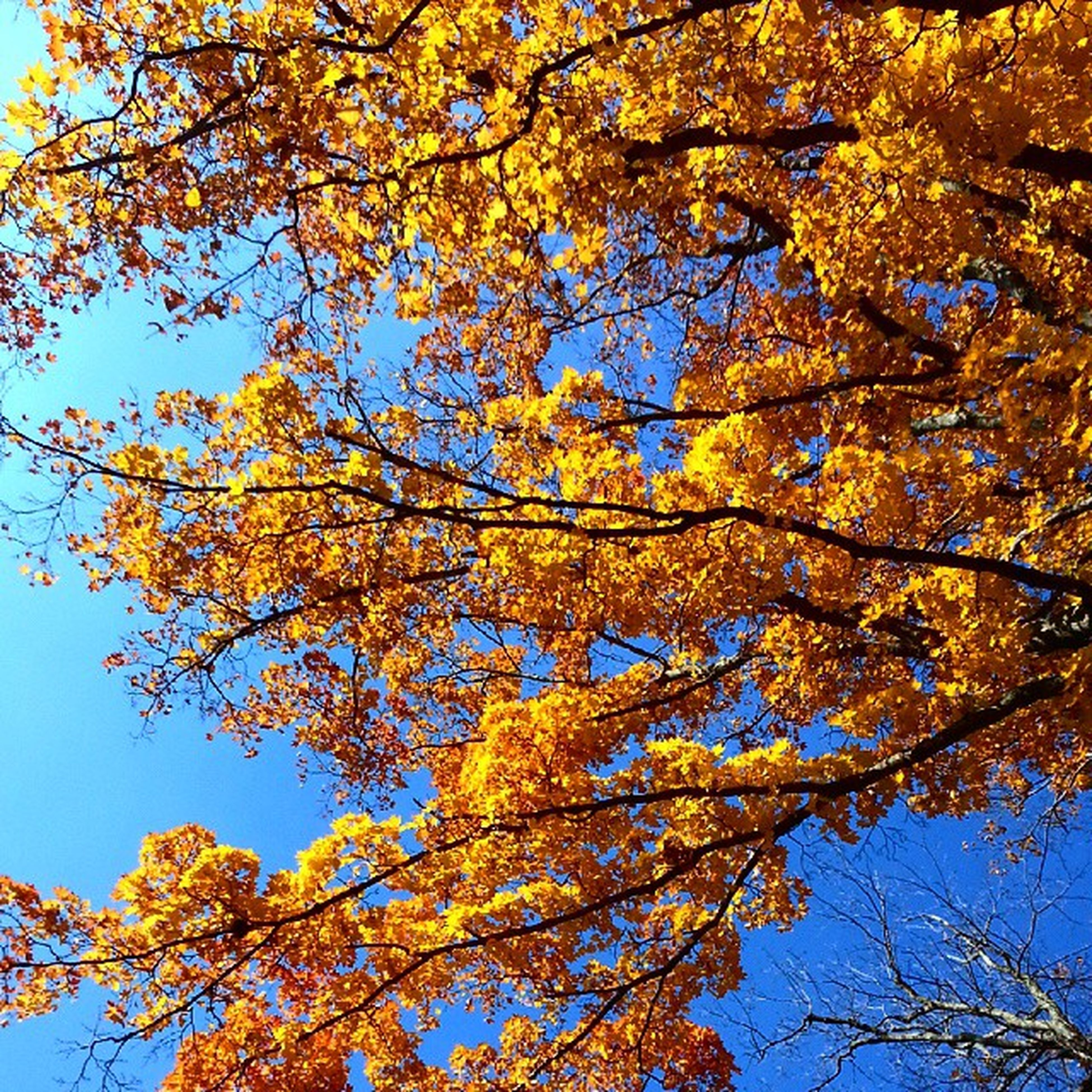 tree, branch, low angle view, autumn, growth, beauty in nature, nature, change, yellow, season, sky, leaf, clear sky, tranquility, flower, day, outdoors, no people, freshness, blossom