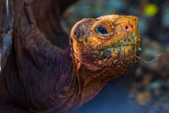 Nikon Nature Galapagos Tranquil Scene Tortoise Giant Tortoise Giant Tortoise in Galápagos.