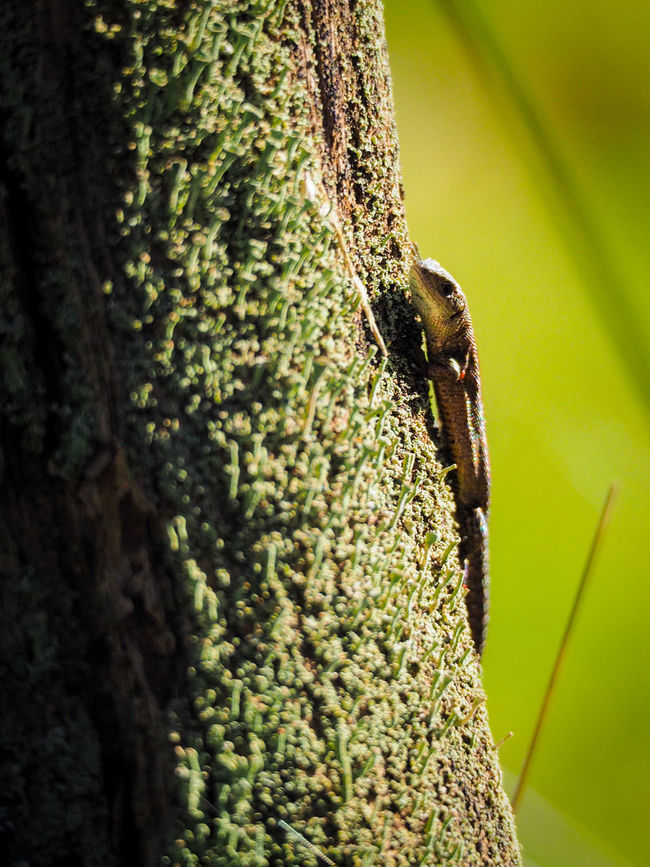 Animal Themes Animal Wildlife Animals In The Wild Climbing Close-up Day Green Color Insect Nature No People One Animal Outdoors Reptile Tree Tree Trunk Forest Lizzard Himmelmoor Germany🇩🇪