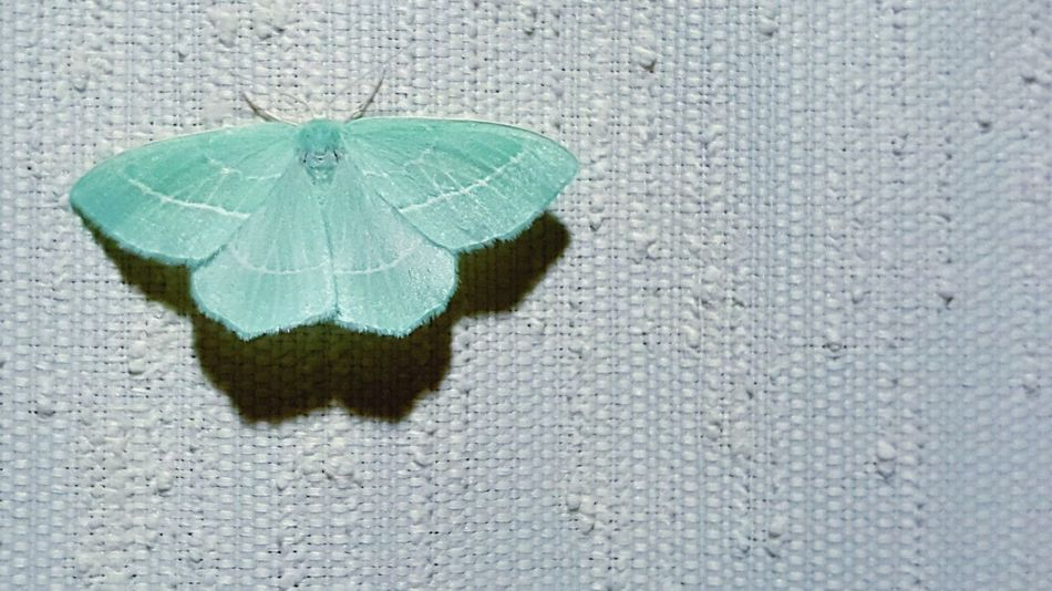 Color Of Life Butterfly Turquoise Butterfly Collection Butterfly Wings Butterflies Amazingthings Fly Flying Things Awesomethings Awesome_shots Wings