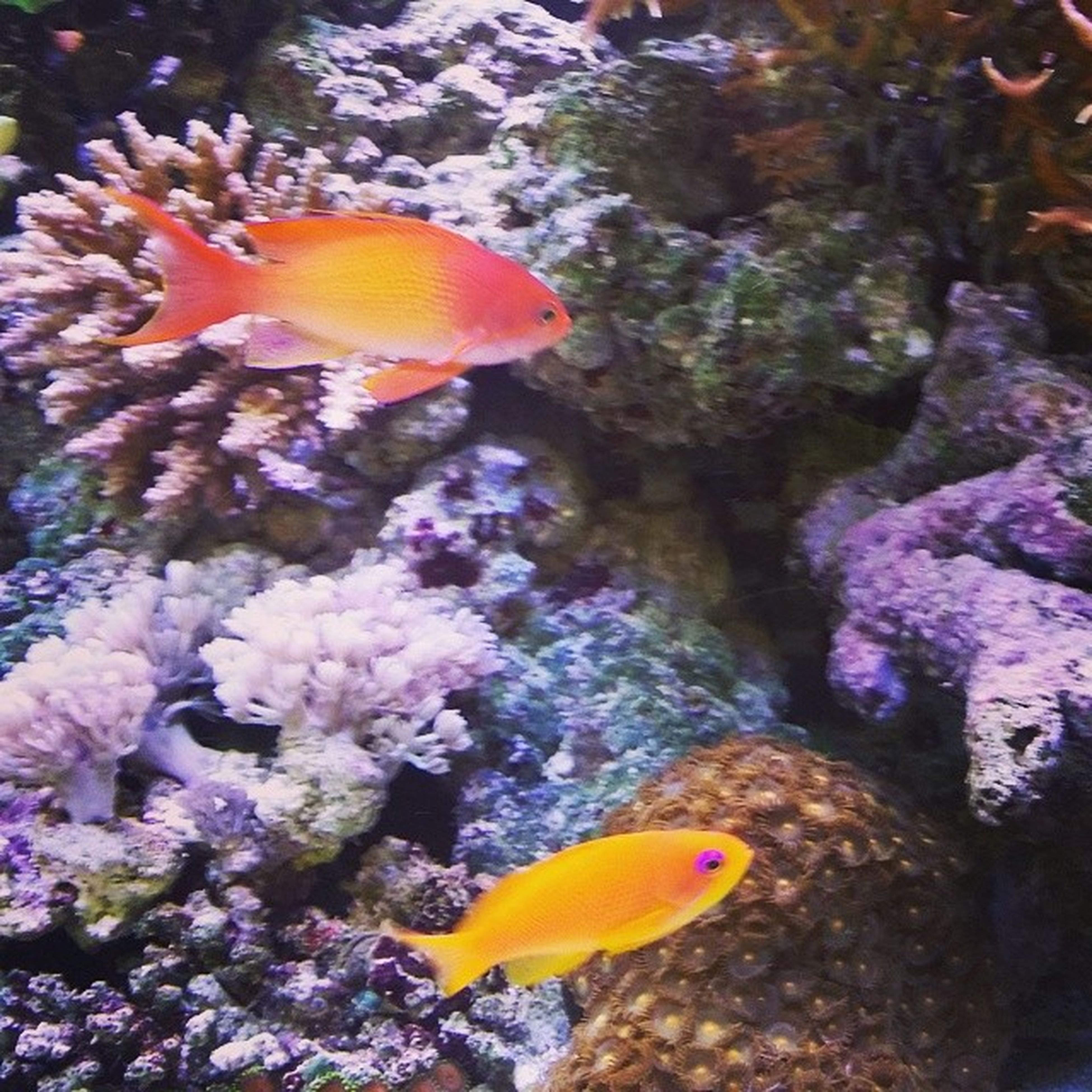 animal themes, animals in the wild, underwater, wildlife, sea life, undersea, yellow, beauty in nature, nature, close-up, fish, coral, one animal, natural pattern, water, swimming, flower, no people, vibrant color, growth