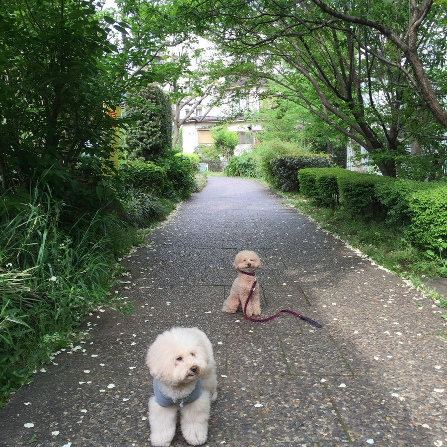 Showing Imperfection Japan I Love My Dog Toypoodle Cute Pets Enjoying Life My Toypoodle DogLove Dogs