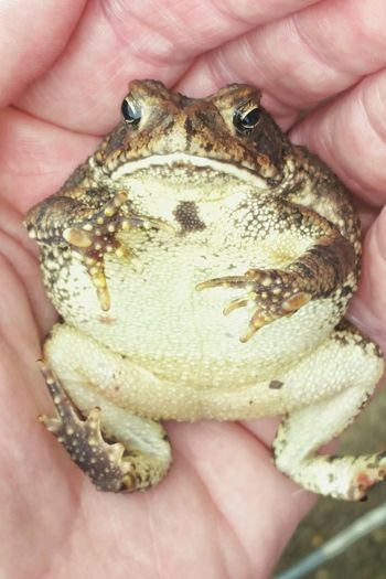One Person Holding Reptile Close-up Feet Up Chillin Frog Toad Toad Frog Handful Reptile Amphibian Feet Up Toes Feet Small Animal Wildlife Animals In The Wild Froggy Belly Belly Up Friendly Laying On The Back Laying Back Animal Human Body Part