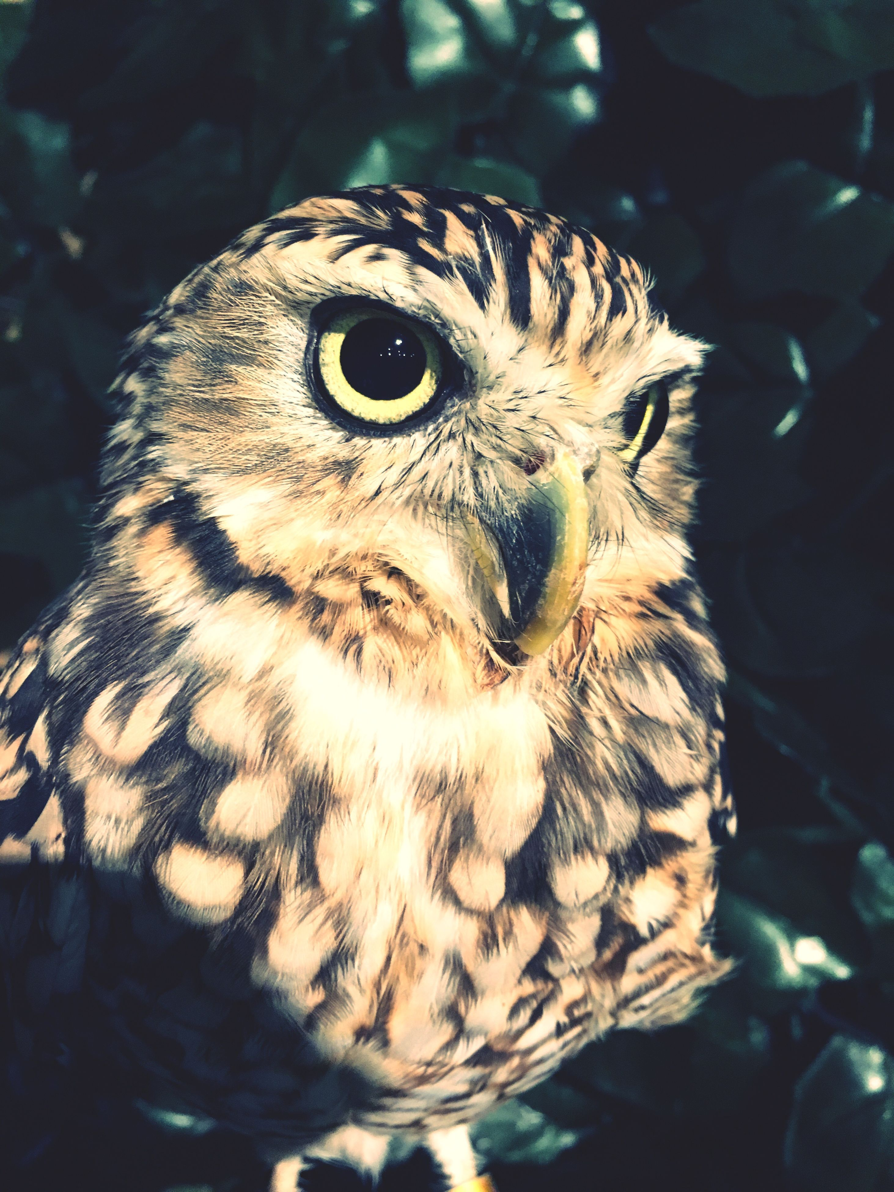 one animal, animal themes, bird, animals in the wild, close-up, animal wildlife, bird of prey, no people, owl, nature, hawk, day, indoors