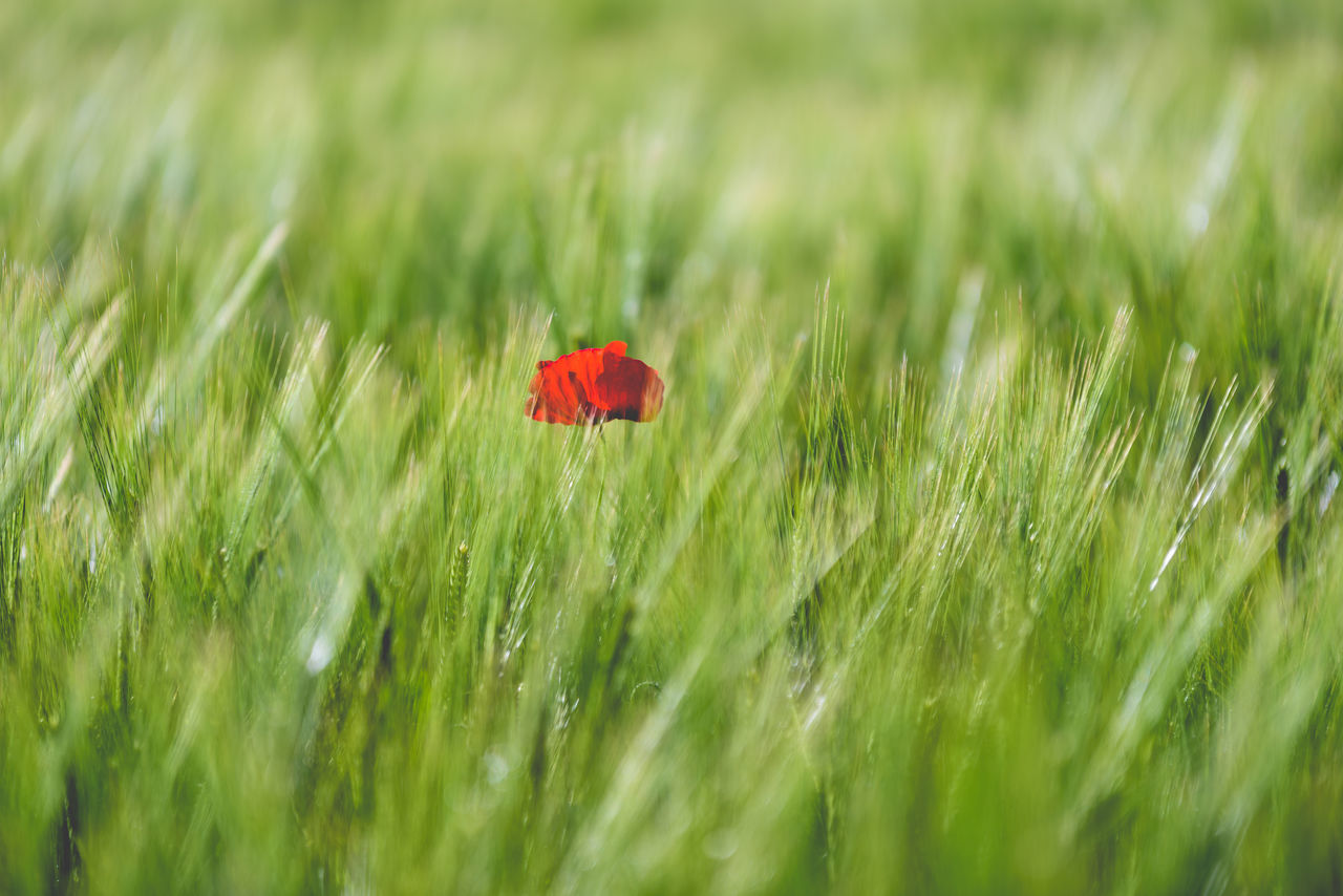Beauty In Nature Cereal Plant Close-up Day Field Flower Flower Head Fragility Freshness Grass Green Green Color Green Color Growth Insect Nature No People Outdoors Plant Poppy Red Red Selective Focus The Great Outdoors - 2017 EyeEm Awards Wheat
