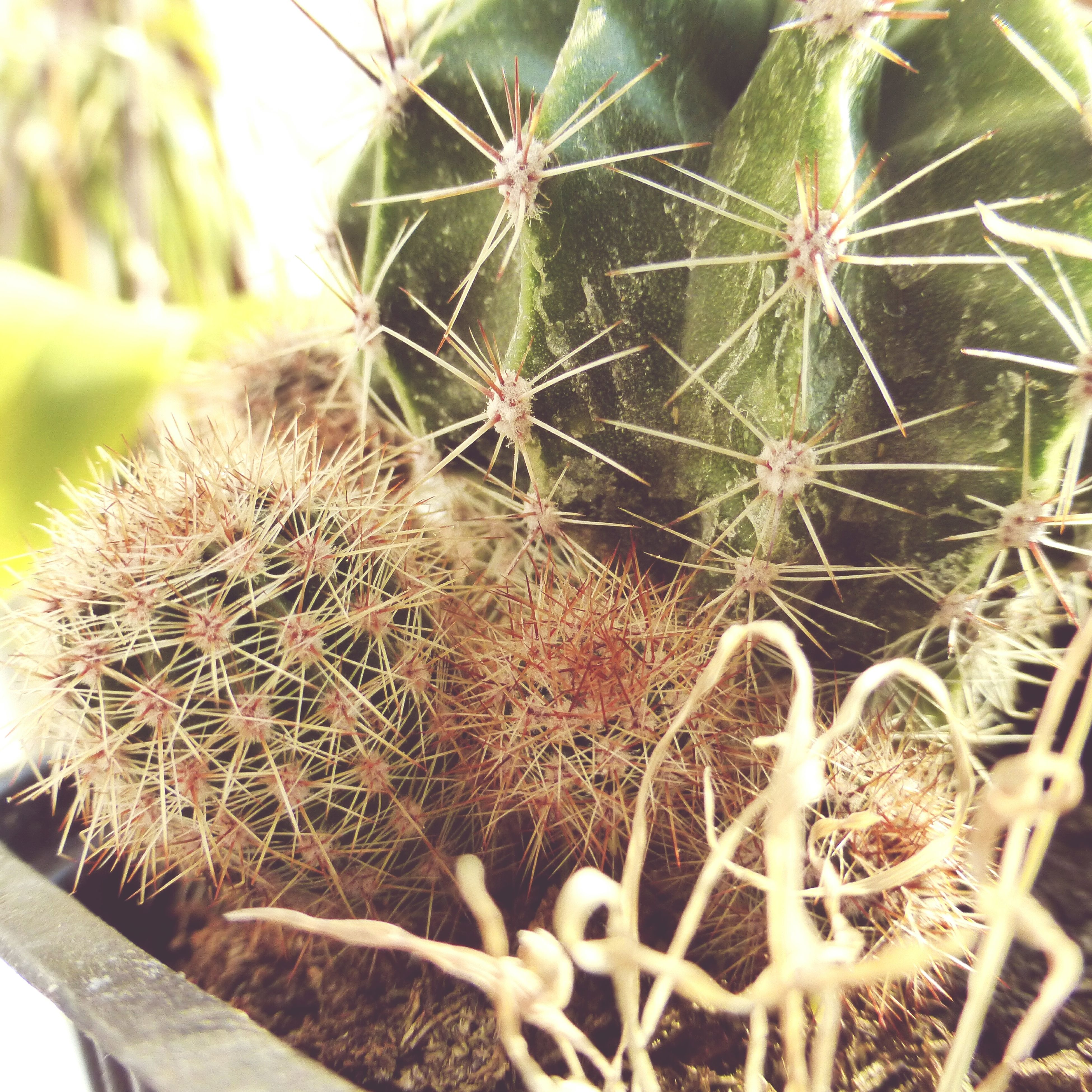 growth, cactus, thorn, plant, close-up, spiked, nature, freshness, beauty in nature, flower, sharp, focus on foreground, fragility, growing, day, succulent plant, outdoors, botany, green color, natural pattern, no people, uncultivated, stem, flower head, selective focus, seed, tranquility, detail, softness, backgrounds