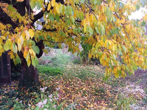 Old cherry tree in autumn Autumn Leaf Tree Nature Change Beauty In Nature Growth Outdoors Yellow Day No People Branch Scenics Tranquility Fragility Freshness Cherry Tree