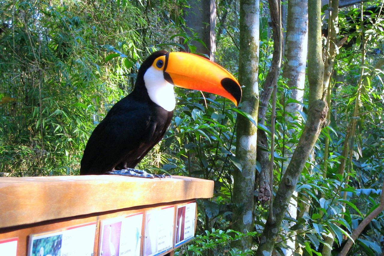 Beauty In Nature Bird Bird Beak Close-up Day Focus On Foreground Large Beak Nature No People Outdoors Tucan Tucano Wildlife