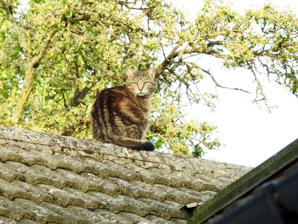 Cat Outdoors Domestic Cat Feline Mammal Sitting One Animal Pets Day Rooftop House