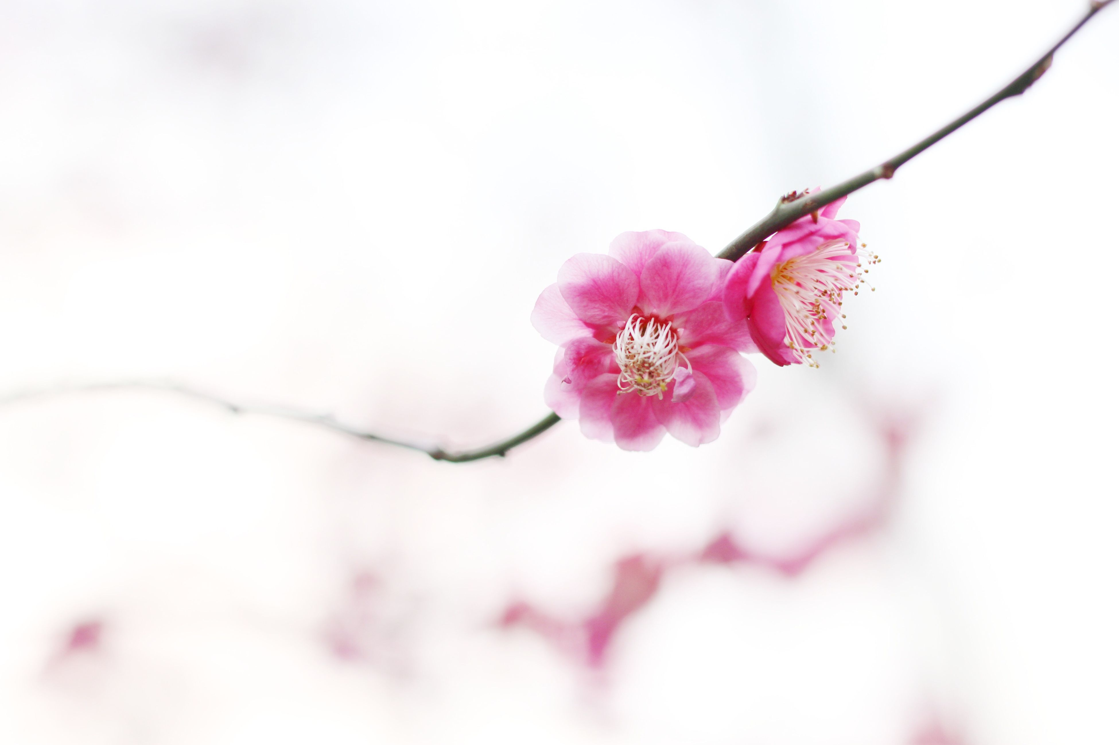 flower, freshness, fragility, petal, growth, beauty in nature, flower head, pink color, close-up, nature, focus on foreground, blossom, blooming, in bloom, branch, springtime, twig, cherry blossom, bud, stem