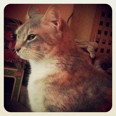 Gibby-Goo. Cat Catsofinstagram Igcats Tabby rescuepets stlouiscardinals catlovers crazycatlady