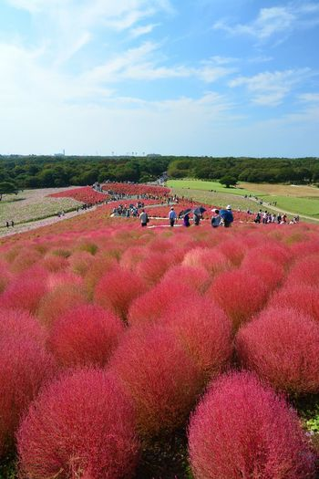 Ultimate Japan HitachiSeaSidePark Kokia Autumn Colors Park Balls Flowers Bluesky Flower Hill Red