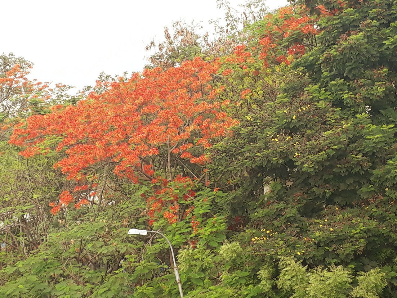 Early morning flaming fire flowers bright with flames of colours Beauty In Nature Nature