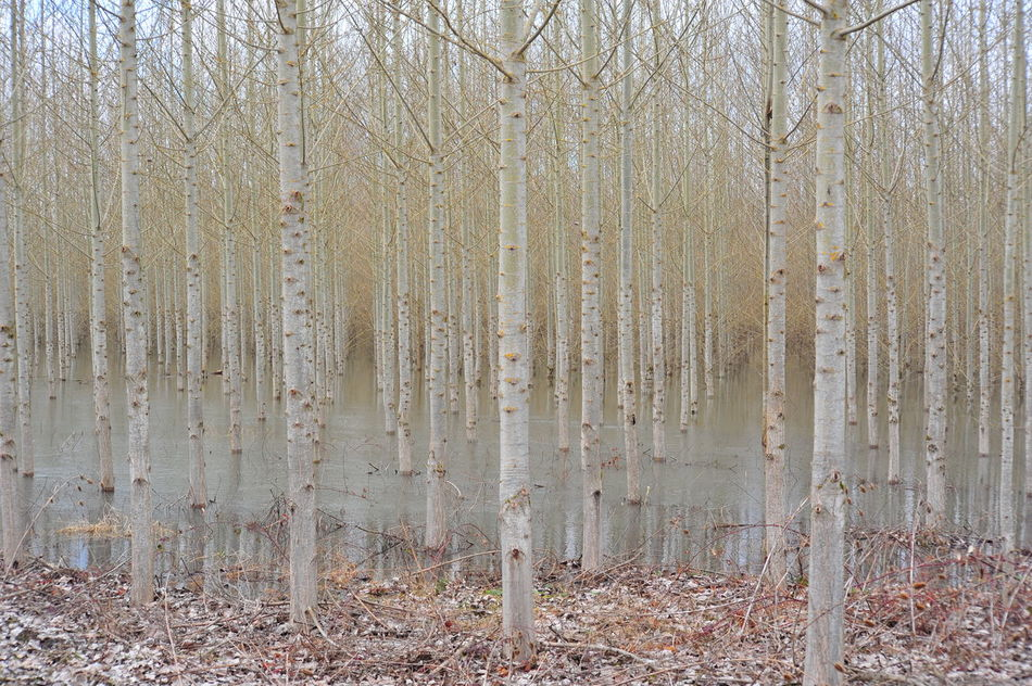 Beauty In Nature Cottonwood Trees Day Forest Fragility Nature No People Outdoors Tree Tree Farm Tree Trunk If Trees Could Speak