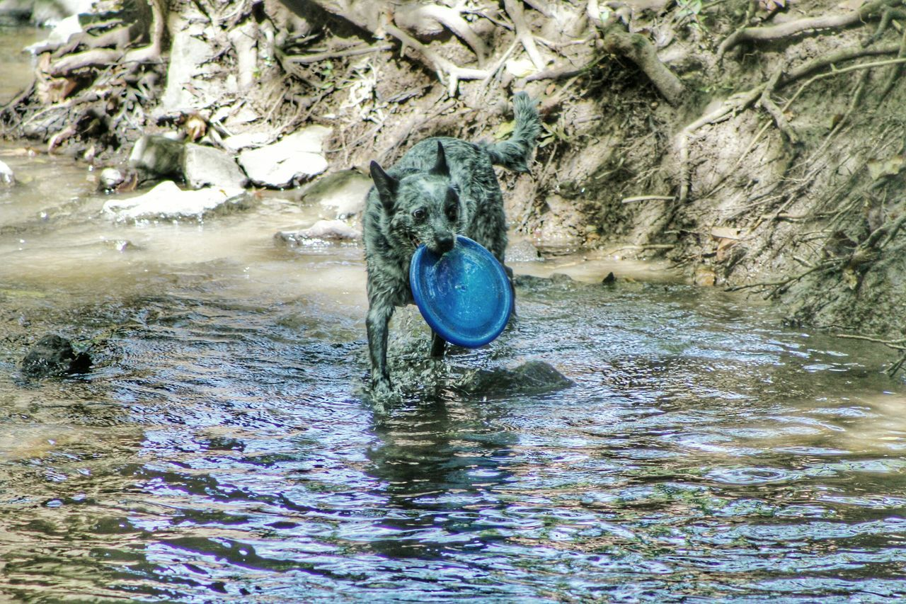 Blue Heeler Playing Frisbee Water Blue Rippled Tranquility Nature EyeEm Gallery Background Louisville, Kentucky Eyeemphotography Outdoors EyeEm Creekside Trail Reflection EyeEm Animal Lover EyeEm Nature Lover Creekside Photography Dog One Animal Animal Themes Park