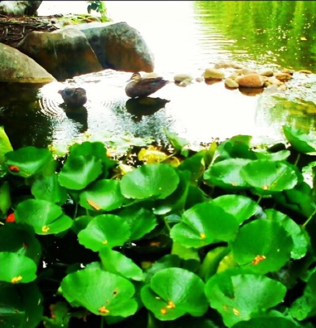 China town gardens. China Garden Ducks Lillypads Lillypond Pond Green Color Water Park Garden Photography