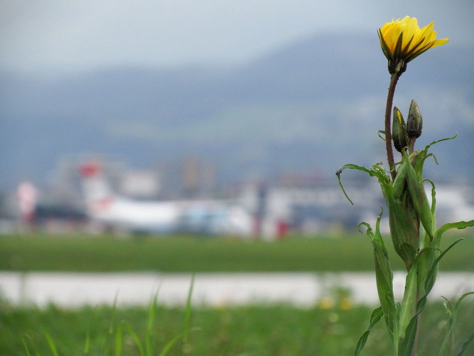Am Flughafenzaun Airport Alpen Beauty In Nature Blume Blüte Botany Day Flower Flower Head Flughafen Focus On Foreground Green Green Color No People Outdoors Plant
