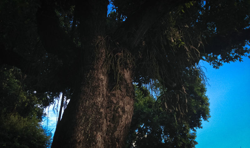 Beauty In Nature Blue Day Green Color Low Angle View No People Outdoors Sunlight Sunny Tall - High The Way Up Tree Tree Trunk WoodLand